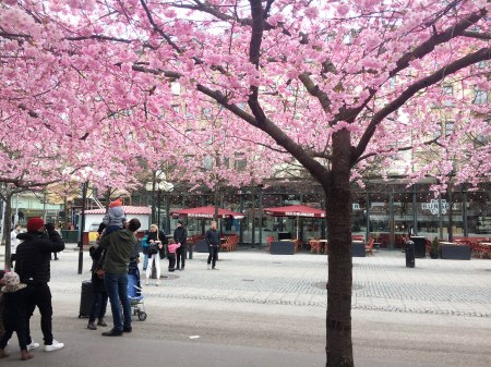 Stockholm Cherry Blossoms